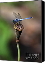 Dragon Photo Canvas Prints - Blue Dragonfly Dancer Canvas Print by Sabrina L Ryan