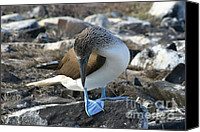 Galapagos Islands Canvas Prints - Blue-footed Booby Canvas Print by Matt Tilghman
