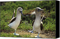 Animal Behaviour Canvas Prints - Blue-footed Booby Sula Nebouxii Pair Canvas Print by Tui De Roy