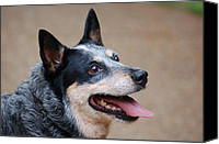 Blue Heeler Canvas Prints - Blue Heeler 2 Canvas Print by Amy Glover Bryant