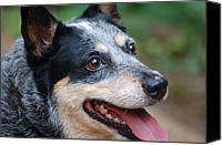Blue Heeler Canvas Prints - Blue Heeler 3 Canvas Print by Amy Glover Bryant