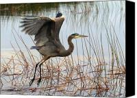 Herons Canvas Prints - Blue Heron 1 Canvas Print by Peter Gray