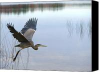 Herons Canvas Prints - Blue Heron 3 Canvas Print by Peter Gray