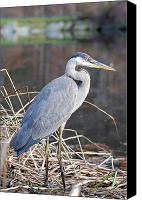 Art Appraisal Canvas Prints - Blue Heron Canvas Print by Don  Wright