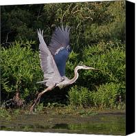 Wetlands Canvas Prints - Blue Heron Canvas Print by Robert Pearson