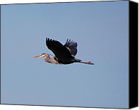Joseph Duba Canvas Prints - Blue Heron version 5 2008 Canvas Print by Joseph Duba
