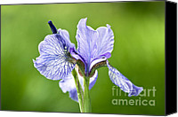 Flower Photos Canvas Prints - Blue Iris Germanica Canvas Print by Frank Tschakert