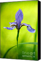 Lois Bryan Canvas Prints - Blue Japanese Iris Canvas Print by Lois Bryan