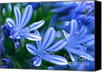 Florida Flowers Canvas Prints - Blue Lily of the Nile Canvas Print by Sabrina L Ryan