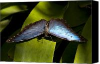 Blue Leaf Canvas Prints - Blue Morpho Butterfly Canvas Print by Kenneth Albin