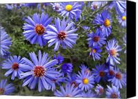 Wild-flower Canvas Prints - Blue Street Daisies Canvas Print by Daniel Hagerman