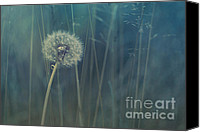 Dandelions Canvas Prints - Blue Tinted Canvas Print by Priska Wettstein