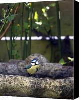 Perch Canvas Prints - Blue tit on bird bath Canvas Print by Jane Rix