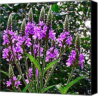 Indiana Dunes Canvas Prints - Blue Vervain in Indiana Dunes National Lakeshore-IN Canvas Print by Ruth Hager