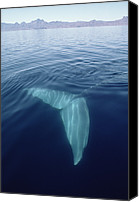 Whale Canvas Prints - Blue Whale Tail Underwater In Sea Canvas Print by Flip Nicklin