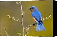 Nature Photo Canvas Prints - Bluebird Bliss Canvas Print by William Jobes
