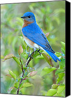 Springtime Photo Canvas Prints - Bluebird Joy Canvas Print by William Jobes