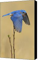 Nature Photo Canvas Prints - Bluebird Takes Flight Canvas Print by William Jobes