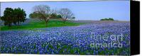 Award Winning Canvas Prints - Bluebonnet Vista - Texas Bluebonnet wildflowers landscape flowers  Canvas Print by Jon Holiday