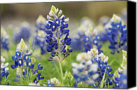 Bluebonnets Canvas Prints - Bluebonnets Canvas Print by John Maffei