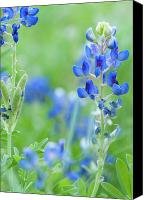 Texas Bluebonnets Canvas Prints - Bluebonnets Canvas Print by Stephen Anderson
