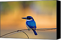 Kingfisher Canvas Prints - BlueSuit Canvas Print by Douglas Barnard