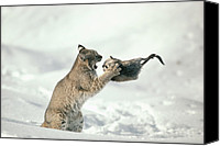 Animal Behaviour Canvas Prints - Bobcat Lynx Rufus Capturing Muskrat Canvas Print by Michael Quinton