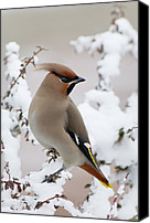Fn Canvas Prints - Bohemian Waxwing Bombycilla Garrulus Canvas Print by Jan Vermeer