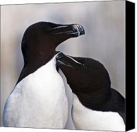 Razorbill Photo Canvas Prints - Bonding.. Canvas Print by Nina Stavlund