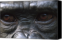 Chimpanzee Photo Canvas Prints - Bonobo Pan Paniscus Close-up Of Eyes Canvas Print by Cyril Ruoso