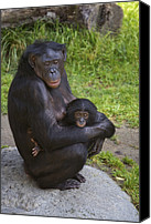 Chimpanzee Photo Canvas Prints - Bonobo Pan Paniscus Mother Cradling Canvas Print by San Diego Zoo