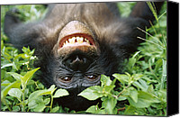 Chimpanzee Photo Canvas Prints - Bonobo Pan Paniscus Smiling Canvas Print by Cyril Ruoso