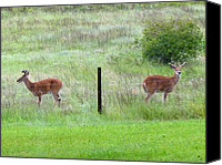 Buddies Canvas Prints - Bookend Twin Bucks Canvas Print by Will Borden