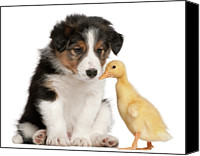 Brussels Canvas Prints - Border Collie Puppy And Domestic Duckling Canvas Print by Life On White