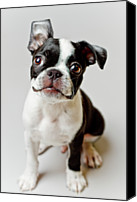 Domestic Animals Photography Canvas Prints - Boston Terrier Dog Puppy Canvas Print by Square Dog Photography