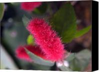 Bottle Brush Photo Canvas Prints - Bottle Brush Canvas Print by Bob Johnson