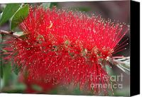 Bottle Brush Photo Canvas Prints - Bottle Brush Bristles Canvas Print by Carol Groenen