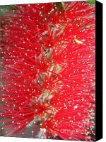Bottle Brush Photo Canvas Prints - Bottle Brush Canvas Print by Carol Groenen