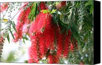 Bottle Brush Photo Canvas Prints - Bottle brush Canvas Print by Evelyn Patrick