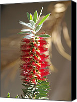 Bottle Brush Photo Canvas Prints - Bottle Brush Flower Canvas Print by James Granberry