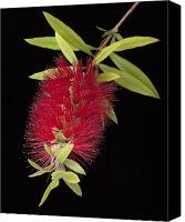 Bottle Brush Photo Canvas Prints - Bottlebrush 1 Canvas Print by Kelley King