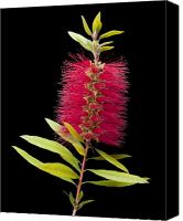 Bottle Brush Photo Canvas Prints - Bottlebrush 3 Canvas Print by Kelley King