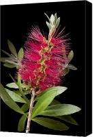 Bottle Brush Photo Canvas Prints - Bottlebrush 4 Canvas Print by Kelley King