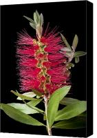 Bottle Brush Photo Canvas Prints - Bottlebrush 5 Canvas Print by Kelley King