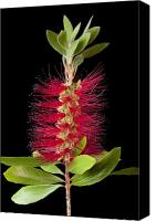 Bottle Brush Photo Canvas Prints - Bottlebrush 6 Canvas Print by Kelley King