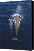 Whale Canvas Prints - Bottlenose Whale And Calf Surfacing Canvas Print by Flip Nicklin