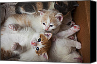 Kitty Canvas Prints - Box Full Of Kittens Canvas Print by Garry Gay