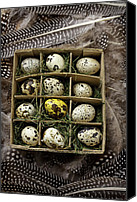 Quail Canvas Prints - Box of quail eggs Canvas Print by Garry Gay