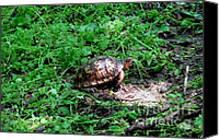 Wildlife Canvas Prints - Box Turtle  Canvas Print by The Kepharts