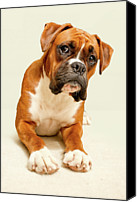 Boxer Canvas Prints - Boxer Dog On Ivory Backdrop Canvas Print by Danny Beattie Photography